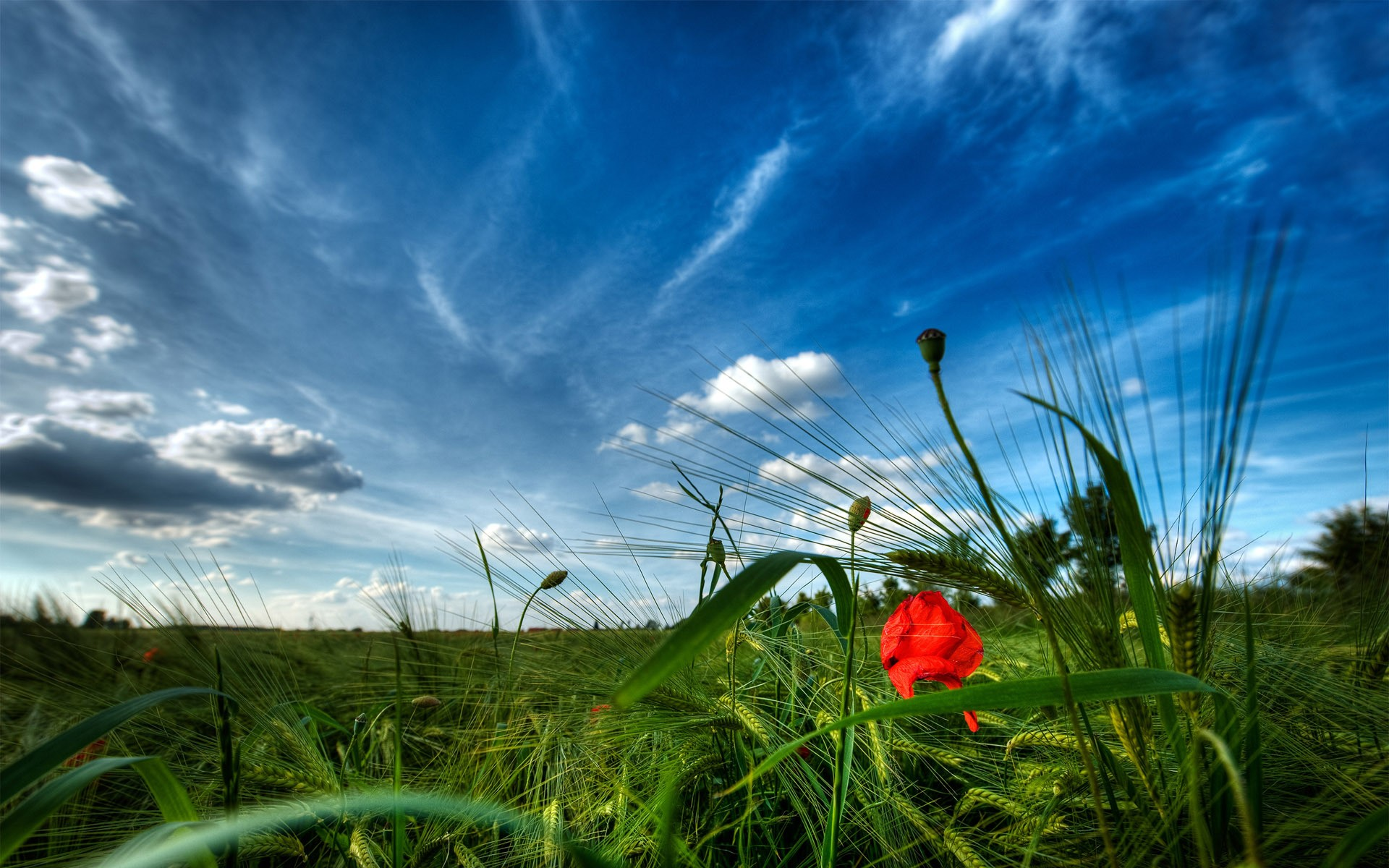 poppy-fields-hd-wallpaper